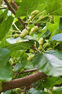 Schildau Maulbeerbaum Fruechte 2.jpg