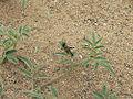 Schistocerca gregaria L1 nymph.jpg
