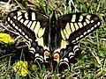 Schmetterling Schwalbenschwanz am Ipf 2015.JPG