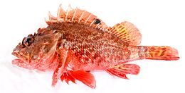 "Scorpaena papillosa (Schneider & Forster, 1801) Red Rockcod, or red scorpionfish, ""Grandaddy"".jpg"