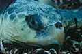 Sea Turtle, NPSPhoto (9) (9257766732).jpg