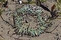 Sea anemone (43138599122).jpg