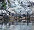 Seals on Lysefjord - Norway - panoramio.jpg