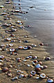 Seashells at the beach of Ashdod, Israel.jpg