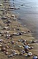 Seashells at the beach of Ashdod, Israel.jpg