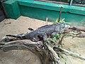 Seekor iguana di kandang.jpg