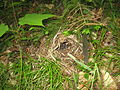 Seiurus aurocapilla nest Maine 2.JPG