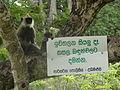 Semnopithecus priam (Anuradhapura) 06.JPG