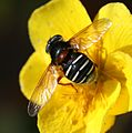 Sericomyia lappona (female) - Flickr - S. Rae (2).jpg