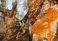 Serpula himantioides (GB= no common name, D= Wilder Hausschwamm, F= Mérule des maisons, Syn. Lèpre des maisons, NL= Dakloze huiszwam), causes brownrot, at Park Rozendaal - panoramio.jpg