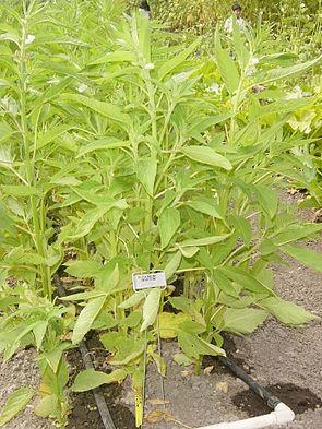 Sesam (Sesamum indicum)