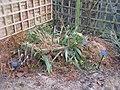 Setaria palmifolia (15963499879).jpg