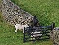 Sheep, drystone wall and gate near Drumkeeragh forest - geograph.org.uk - 1581666.jpg