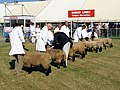 Sheep judging in progress at the New Forest Show - geograph.org.uk - 208610.jpg