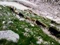 File:Sheeps in mountain Krn.webm