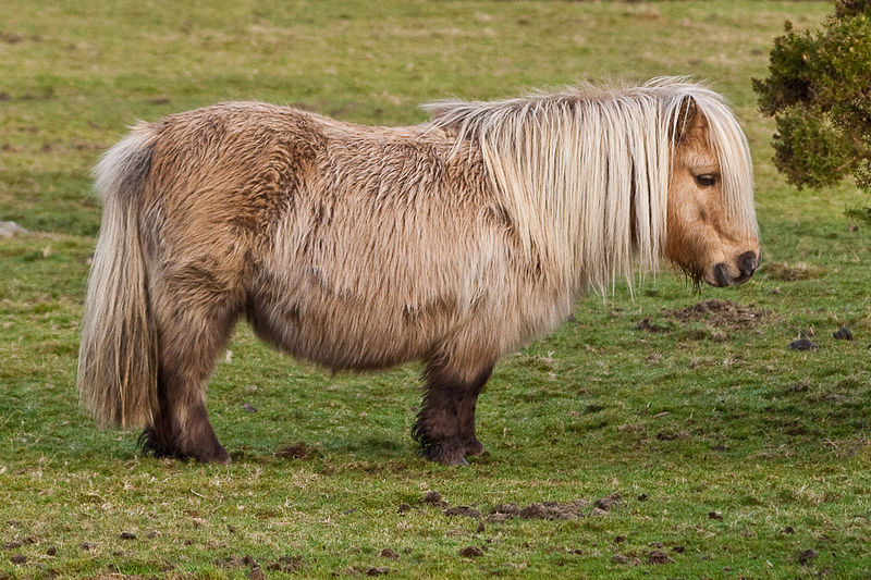 File:Shetland Pony on Belstone Common, Dartmoor.jpg