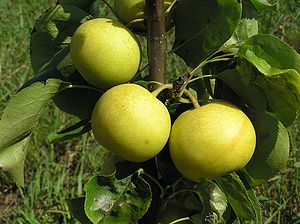 Fruits of Shinseiki pear on tree