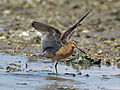 Short-billed Dowitcher RWD2013b.jpg
