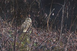 Short-eared owl -  Asio flammeus flammeus from Pangolakha Wildlife Sanctuary in Sikkim from 13,500 ft near Lungthu. Such high altitude distributions can be found in Himachal Pradesh and Ladakh area of Higher Himalayas as well.