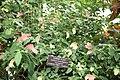 Shrimp Plant (Justicia brandigeana) Variegata Acanthus Family - Acanthaceae (3072508189).jpg