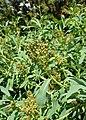 Sibiraea laevigata kz09.jpg