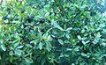 Sideroxylon inerme tree in fruit South Africa 3.jpg