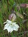 Silene alba FlowerSideCloseup 12April2009 DehesaBoyaldePuertollano.jpg