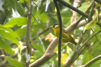 Silver-eared mesia - Subspecies M.a.argentauris from Mahananda Wildlife Sanctuary, West Bengal,  India.