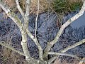 Silver Birch - geograph.org.uk - 645396.jpg