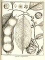 Singana guianensis Aublet 1775 pl 230.jpg