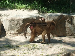 Hamadryas baboon - Female with infant at Singapore Zoo
