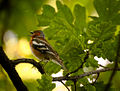 Singing chaffinch (18891442388).jpg