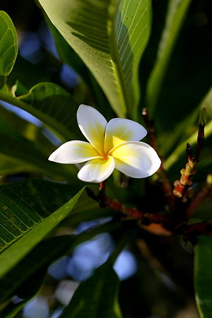 Single Plumeria alba.jpg