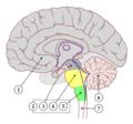Sistema nerviós central i parts del tronc encefàlic.png