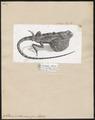 Sitana pondiceriana - 1700-1880 - Print - Iconographia Zoologica - Special Collections University of Amsterdam - UBA01 IZ12700025.tif