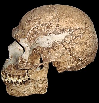 Homo sapiens - Skhul V (dated at about 80,000–120,000 years old) exhibiting a mix of archaic and modern traits.