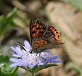 Small Copper. Lycaena phlaeas (29683165157).jpg