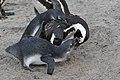 Small penguins feeding (20569440791).jpg