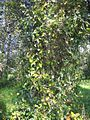 Smilax aspera 20080607 164308 Bizkaia 43p3541N 2p9984W.jpg
