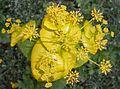 Smyrnium perfoliatum 2016-05-09 0062.jpg