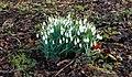 Sneeuwklokken (Galanthus nivalis) onder struikgewas. Locatie, Natuurterrein De Famberhorst 03.jpg