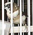Society Finch dark brown.jpg