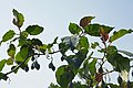 Solanum betaceum à São Tomé (2).jpg