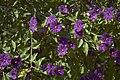 Solanum rantonneti B.jpg