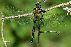 Somatochlora flavomaculata 2.jpg