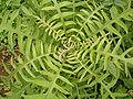 Sonchus palmensis (Los Sauces) 02.jpg