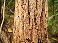 Sonchus palmensis (Los Tilos) 07.jpg