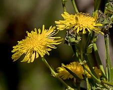 Sonchus palmensis - Pico Birigoyo - La Palma.jpg