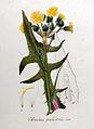 Sonchus palustris — Flora Batava — Volume v8.jpg