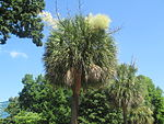 South Carolina palmetto tree, Columbia IMG 4790.JPG